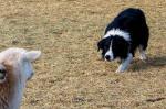 Hotchkiss Sheep Camp Stock Dog Trials